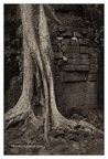 Roots In Ruins 1, Ta Prohm, 2014