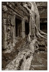 Roots In Ruins 4, Ta Prohm, 2014